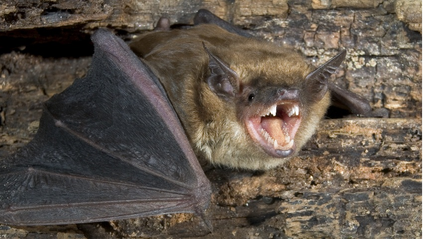 Photo of a small brown bat showing its teeth.  In Michigan, bats are the animal most commonly found to be rabid.